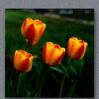 Тюльпаны :: Владимир Кроливец