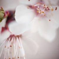 Вишня цветёт. :: Юлия Гончарова