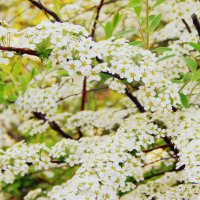 flowers :: Ann Venglovska