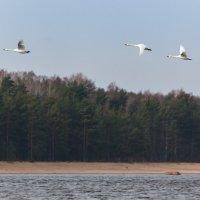 Южный берег Финского залива. Лебеди прилетели. :: Юрий