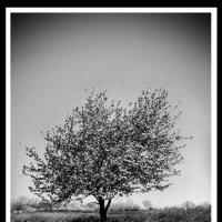 Одинокое дерево :: Владимир Оберемок