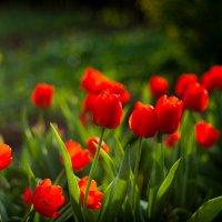 красные тюльпаны :: Alina Grib