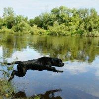 Полет черного пса в реку Клязьма за секунду до приводнения :: Alesha Lamkinson