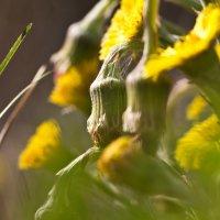 Лютики-цветочки :: Елена Сюзёва