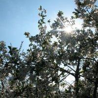 цвет вишни :: Дмитрий Соломаха