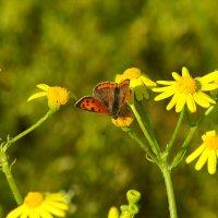бабочка :: Сергей Баштанник