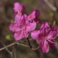 Багульник цветет :: Нина Борисова