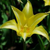 Пришла весна....расцвели тюльпаны)) :: Nataliya Oleinik