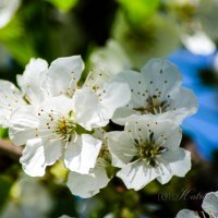 Вишневый цвет :: Katrin Tararak