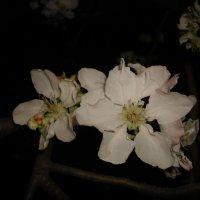Яблони в цвету :: Ирина