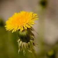 Солнечный цветок :: Юрий Митенёв