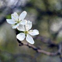 первые цветы :: Alice Madman
