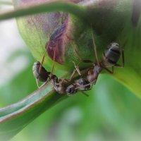 Из жизни муравьев :: Елена