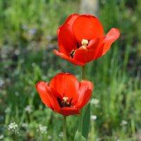 Тюльпаны :: Елена Ахромеева