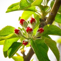 Яблоневый цвет :: Светлана Шаповалова