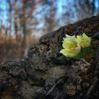 И на камнях растут деревья... :: Gimp Fanat Евгений Щербаков