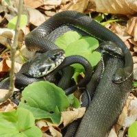 Змеиные страсти! :: Павел