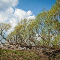 И на деревьях растут деревья :: Константин Фролов