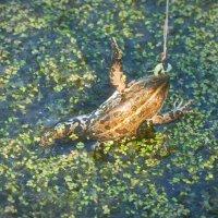 Фиксирование движения лягушки с помощью вишневых листиков. Или просто ПОПАЛАСЬ, толстушка!!! :: Дарья Казбанова