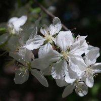 Яблони в цвету :: Вячеслав Гостев