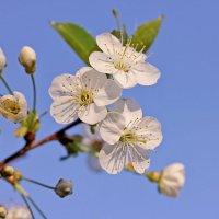 Веточка цветущей вишни :: Александр Николаев