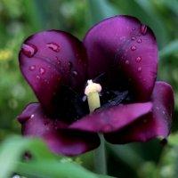 черный тюльпан :: Виктория Чуб