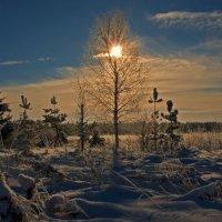 Солнечная берёзка. :: Сергей Израилев