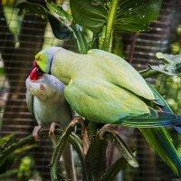 Любовь и ... попугаи :: Николай