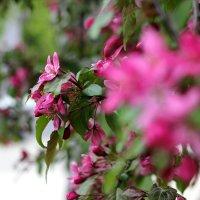Цветущее дерево :: Леся Прокопенко