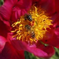 пчелы опыляют цветок :: влад прошин