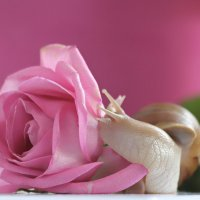 Ароматная роза :: Евгеша Сафронова