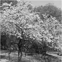 цветущая вишня :: Марина Буренкова