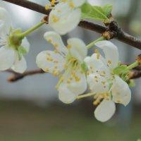 Весна. Слива цветет... :: Alena Cyargeenka