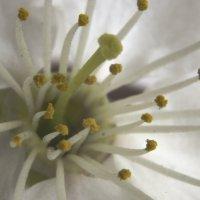 Цветок Сакуры :: Михаил Барабанов