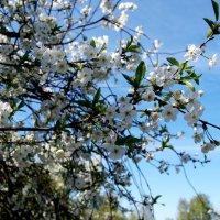 Вишня цветет :: Анна Чигряй