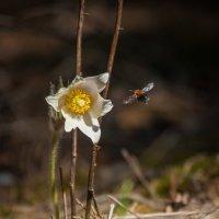 полёт пчелы :: Anastasiya Lychagina