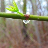 Отражение леса в маленькой капле :: Денис Гладких