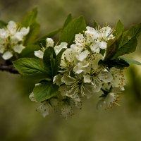 С белых яблонь дым. :: Яков Реймер