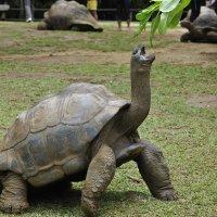 Черепахи Маврикия :: Kirill Rogozin