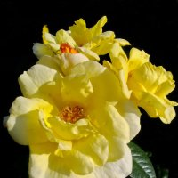 Солнечные розы :: lady v.ekaterina