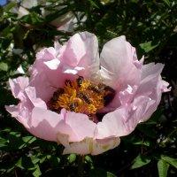 Приманивающий пчел :: Татьяна Пальчикова