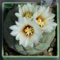 Кактусы в цвету.... :: Елена Миронова
