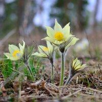 Весенние цветы. :: Сергей Адигамов