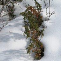 ...пробивается сквозь снег :: Ольга Иргит