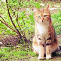 Дворовая кошка 1 :: Екатерина Аматова