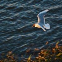 чайка по имени Джонатан Левингстон :: Дмитрий Новоселов