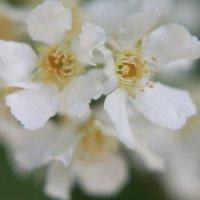 Цветки черёмухи :: Владимир  Зотов