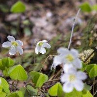 Первые весенние цветы :: Sergey Lebedev