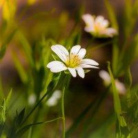 цветик :: Денис Антонов