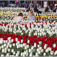 Тюльпаны :: Михаил Розенберг